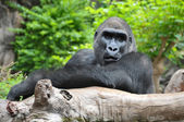 Black Gorilla Resting on a Wooden Pole — Stock Photo
