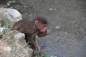 Marrom macaco acorrentado — Foto Stock