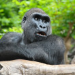 Stock Photo: Black GorillResting on Wooden Pole
