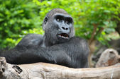 Black Gorilla Resting on a Wooden Pole — Stock Photo