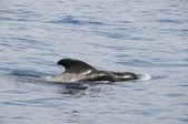 Baleine pilote — Photo