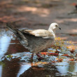 Pigeon on Water — Stock Photo #31037393