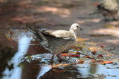 голубь на воде — Стоковое фото