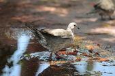 在水面上的鸽子 — 图库照片