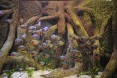 Sommige oranje piranha's in het warm tropisch water — Stockfoto
