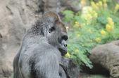 Un gorilla nero adulto — Foto Stock