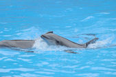 Grey Dolphin on a Very Blue Water — Stockfoto