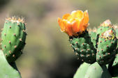Fiore di cactus — Foto Stock