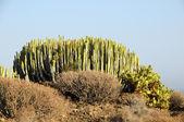 зеленый большой кактус в пустыне — Стоковое фото