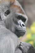 One Adult Black Gorilla — Foto Stock