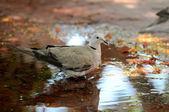 Güvercin su — Stok fotoğraf