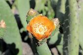 Cactus Flower — Stockfoto