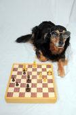 Intelligenter hund spielt schach — Stockfoto