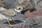 Adult Kentish Plover Water Bird — Foto de Stock