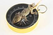 Gecko ödla och kompass — Stockfoto