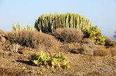 Green Big Cactus in the Desert — Fotografia Stock