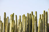 Green Big Cactus in the Desert — Stock Photo