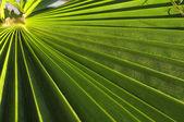 Gröna palmblad — Stockfoto