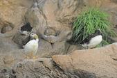 Pingüino de color blanco y negro — Foto de Stock