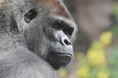 One Adult Black Gorilla — Stock Photo