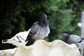 Pigeon on a Marble Fountain — Stock Photo