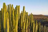 Saftiga växter kaktus på torr öken — Stockfoto