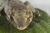 Gecko ödla och blad — Stockfoto