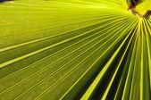Feuilles de palmier vert — Photo