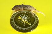 Gecko Lizard and Compass — Stock Photo