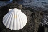 Kalksteen sea shell — Stockfoto