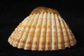 Sea Shell — Stockfoto