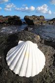 Vápence mořské mušle — Stock fotografie