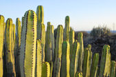 Succulent Plant Cactus on the Dry Desert — Stock Photo