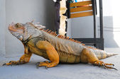 Colored Young Male Iguana — Photo