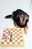 Slimme hond schaken — Stockfoto