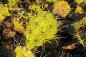 Green Prickly Pear Cactus Leaf — Stock Photo