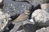 Adult Kentish Plover Water Bird — Stock Photo