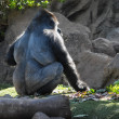 Strong Adult Black Gorilla — Stock Photo #39258625