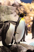Pingouin noir et blanc — Photo