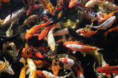 Many Colored Koi Carps — Stock Photo