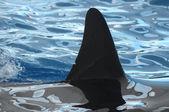 Orcinus orca — 图库照片