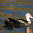 Muscovy Duck — Stock Photo #39352937