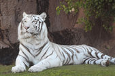 Black and White Striped Tiger — Stock Photo