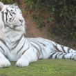 Stock Photo: Black and White Striped Tiger