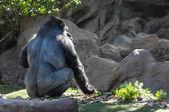 Strong Adult Black Gorilla — Stock Photo