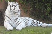 Black and White Striped Tiger — Stock Photo