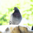 Pigeon on Marble Fountain — Stock Photo #40044213