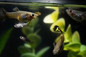Guppy Multi Colored Fish — Stockfoto