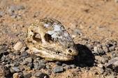 Canarian Dry Lizard Skull — Stock Photo