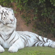 Black and White Striped Tiger — Stock Photo #40541675